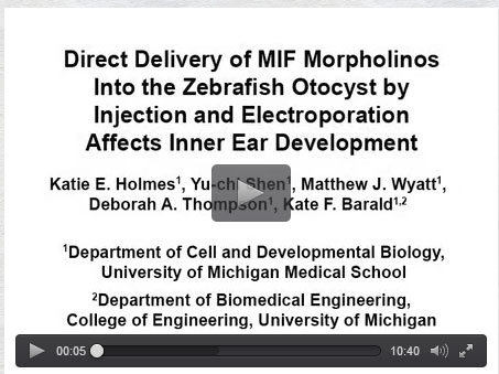 Microinjection in Zebrafish Otocytes